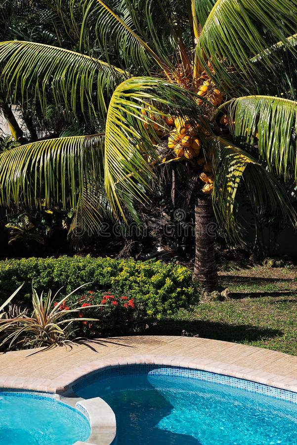 Coconut tree by the pool at noon chilling out in Tobago.  stock photos