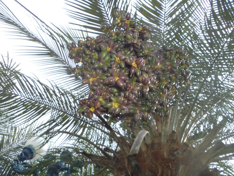 Coconut tree producing the first fruits. Fruits of a coconut bunch with many fruits, planted in one of the squares in the city of Cocais stock images