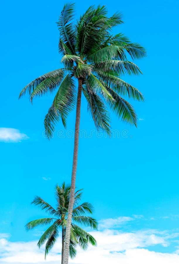 Coconut tree on sunny blue sky and white clouds. Summer and paradise beach concept. Tropical coconut palm tree. Summer vacation stock photos
