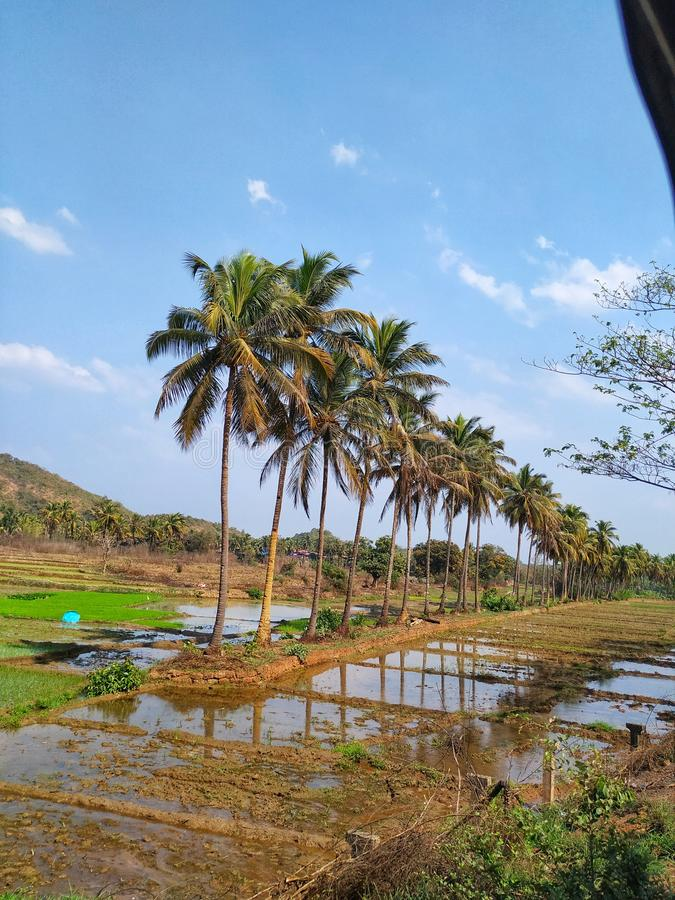 Coconut tree. This are coconut tress in line at paroda goa. Coconut trees gives us everything stock photography
