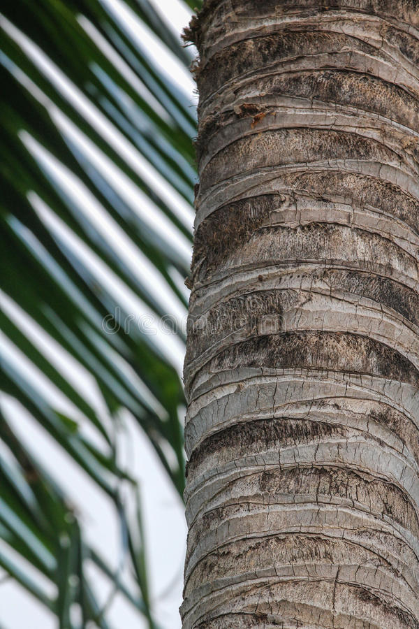 Coconut tree trunk. Close of a Coconut tree trunk, with some of its leaf in the background stock photos