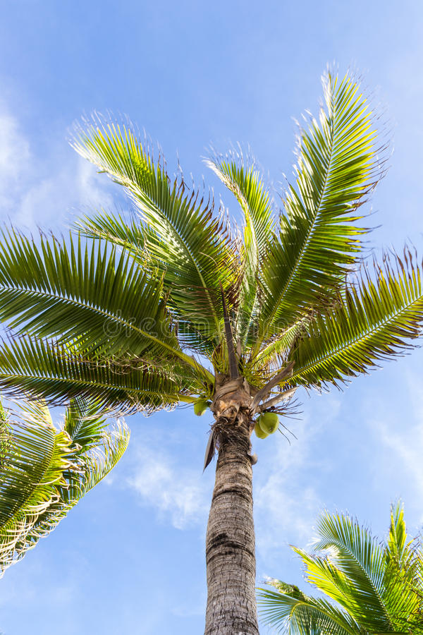 Coconut tree under blue sky in sunny day. Green leafs of coconut tree under blue sky in daytime royalty free stock photos