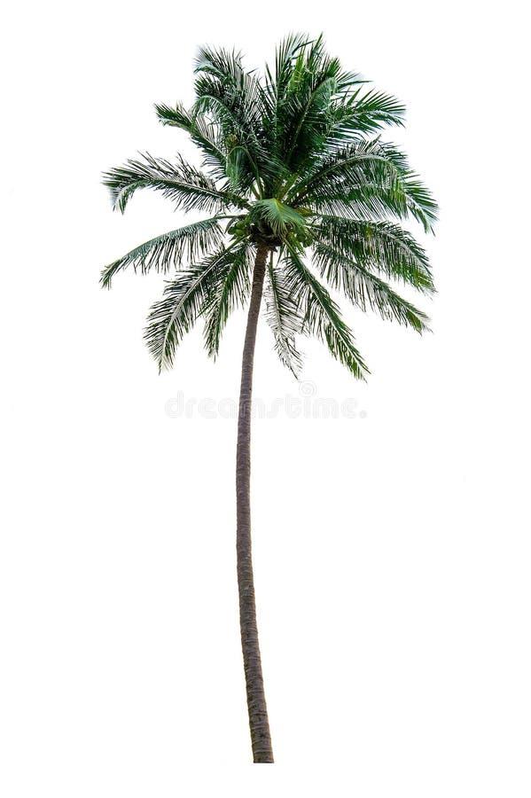 Coconut tree on white background. stock image