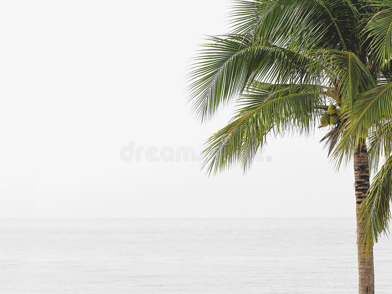 Coconut tree on white beach royalty free stock image