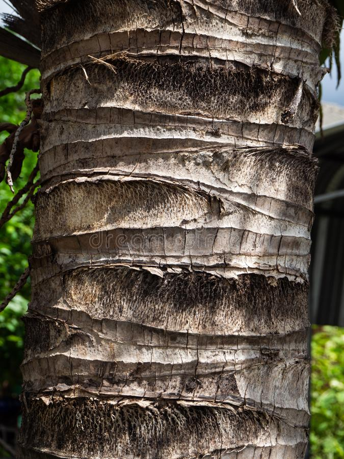A coconut tree wooden texture. royalty free stock images