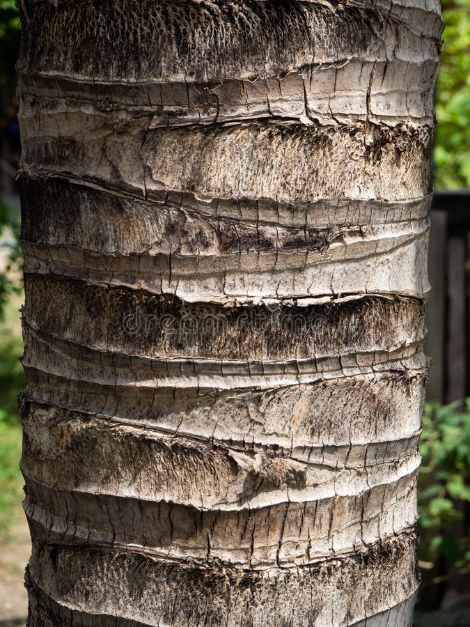 A coconut tree wooden texture. stock photos