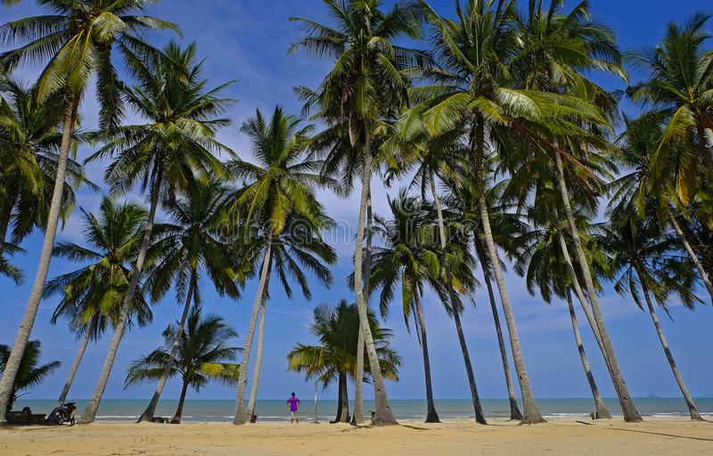 Coconut treen near beach and the blue sky stock images