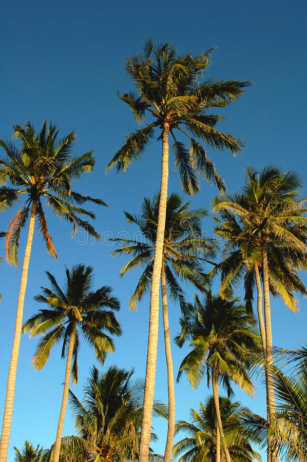 Free Coconut Trees Royalty Free Stock Images - 14760499