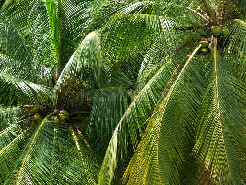 Download Coconut Trees Stock Photography - Image: 2685102