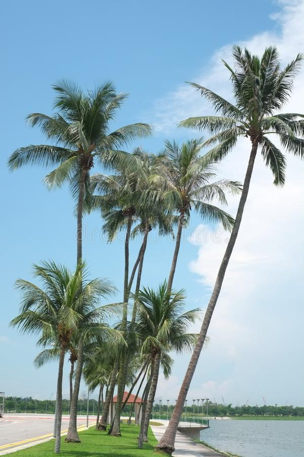 Coconut trees by the beach stock photo