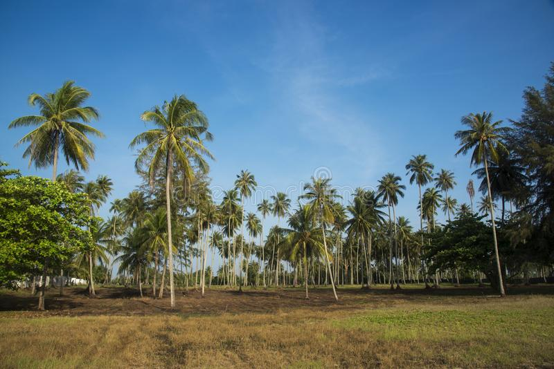 Coconut trees on the beach royalty free stock photography