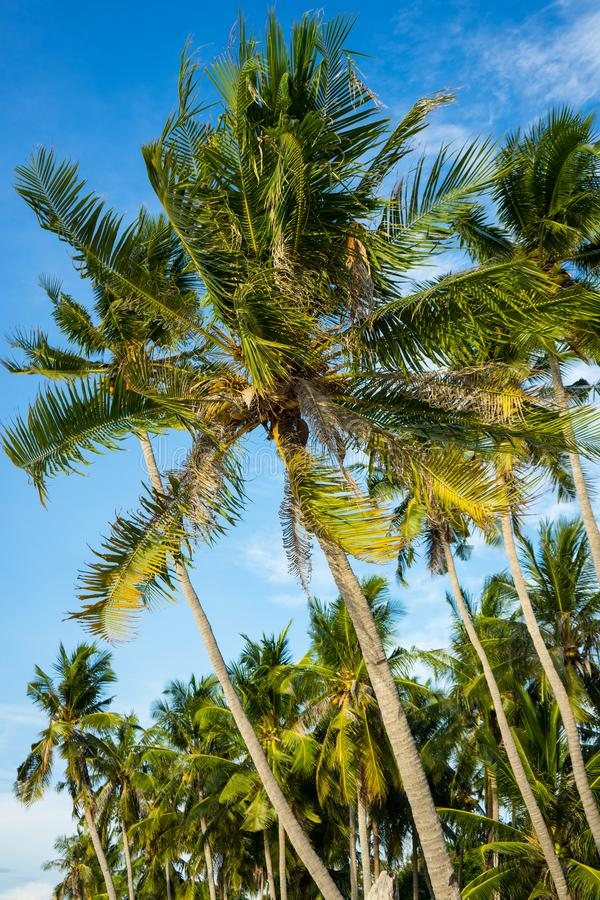 Coconut trees blowing in the wind stock image