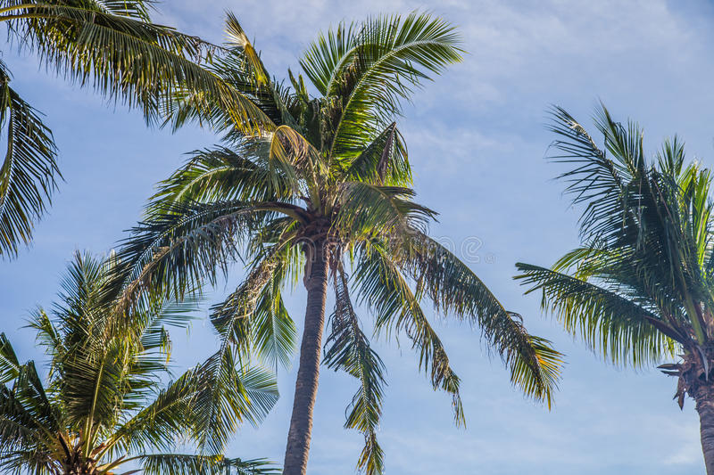 summer outdoor backgrounds. Download Coconut Trees With Blue Sky | Summer Outdoor Background Stock Image - Of Landscape Backgrounds O