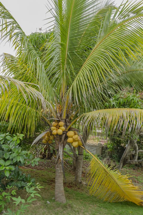Coconut Trees With Drupes. Short coconut tree growing among other trees, and having tightly packed bunches of yellow mature coconuts growing out of its heart. A royalty free stock photos