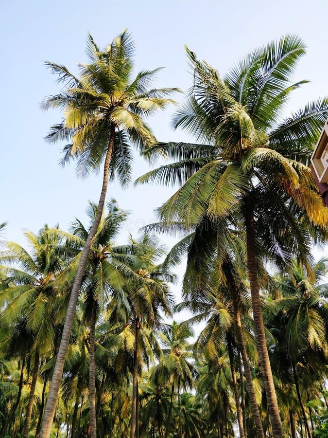 Coconut farm stock photography