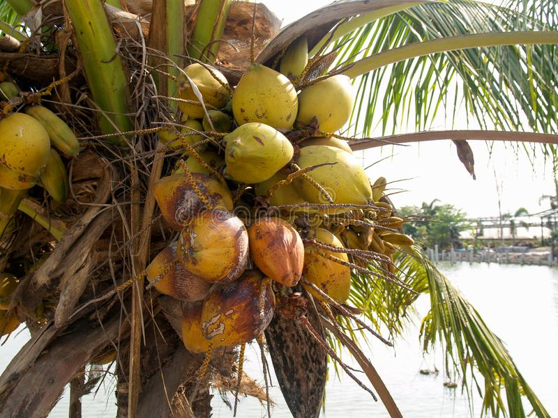 Coconut trees that are fruiting. And have a pool background royalty free stock photography