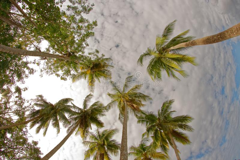 Coconut trees going to the sky - Martinique stock image