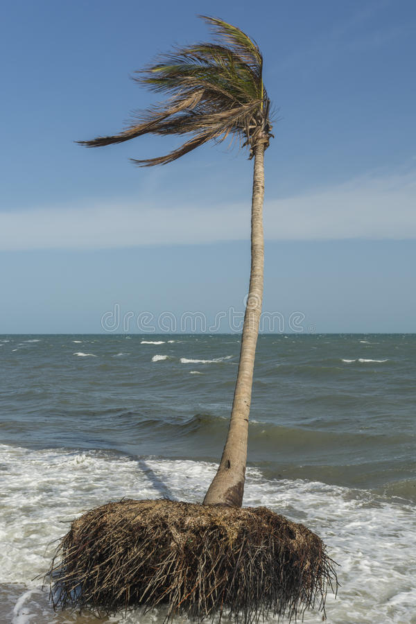 Coconut trees losing ground to rising sea level. Ramanathapuram, Ramnad, Tamilnadu, India royalty free stock photography
