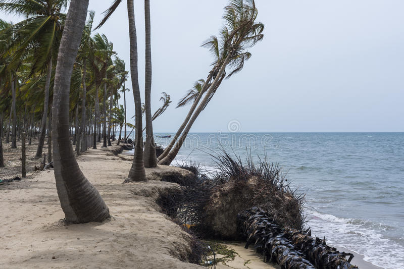 Coconut trees losing ground to rising sea level. Ramanathapuram, Ramnad, Tamilnadu, India stock image