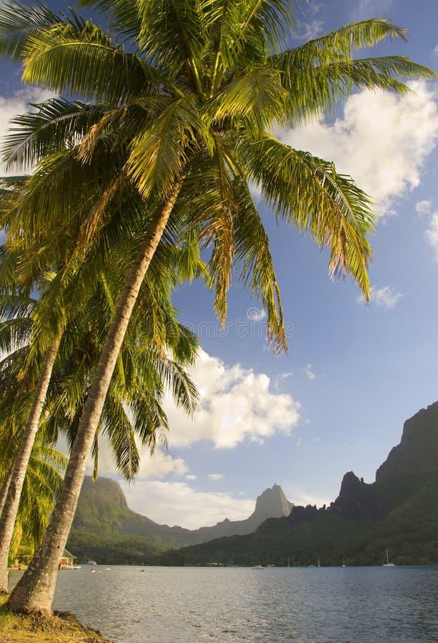 Coconut trees moorea south sea royalty free stock photography
