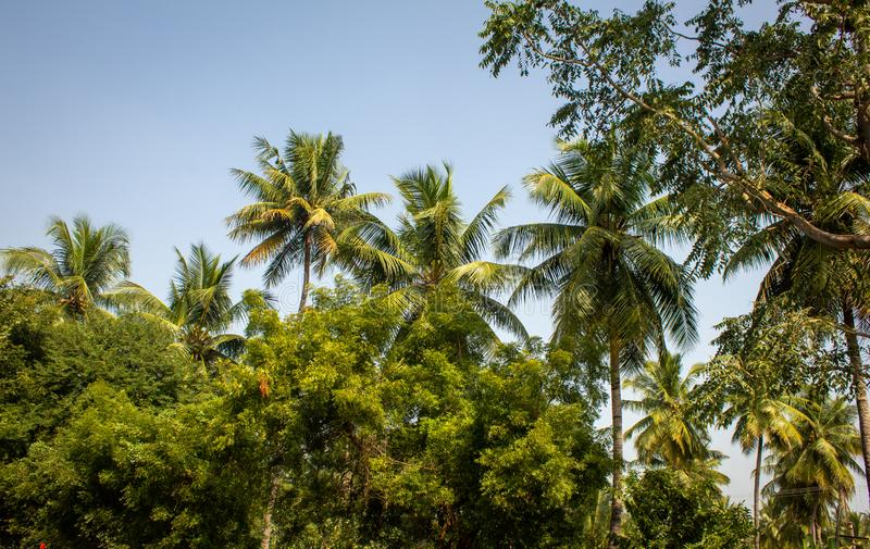 Coconut trees and neem trees in an agricultural field.  stock photo