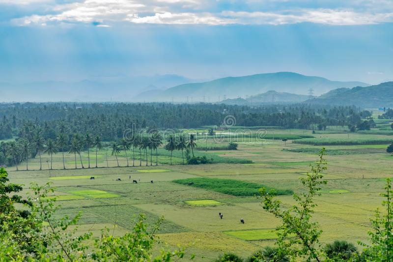 Coconut trees plantation at greenery field with mountain white cloud sky background. royalty free stock photography
