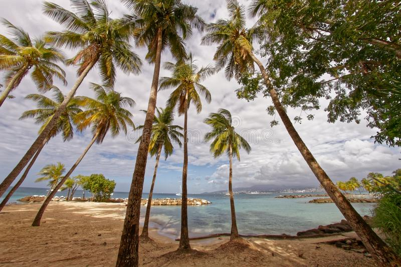 Coconut trees on Pointe du Bout beach - Les Trois Ilets - Martinique stock images