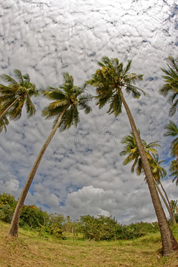 Coconut trees on Pointe du Bout beach - Les Trois Ilets - Martinique royalty free stock photography