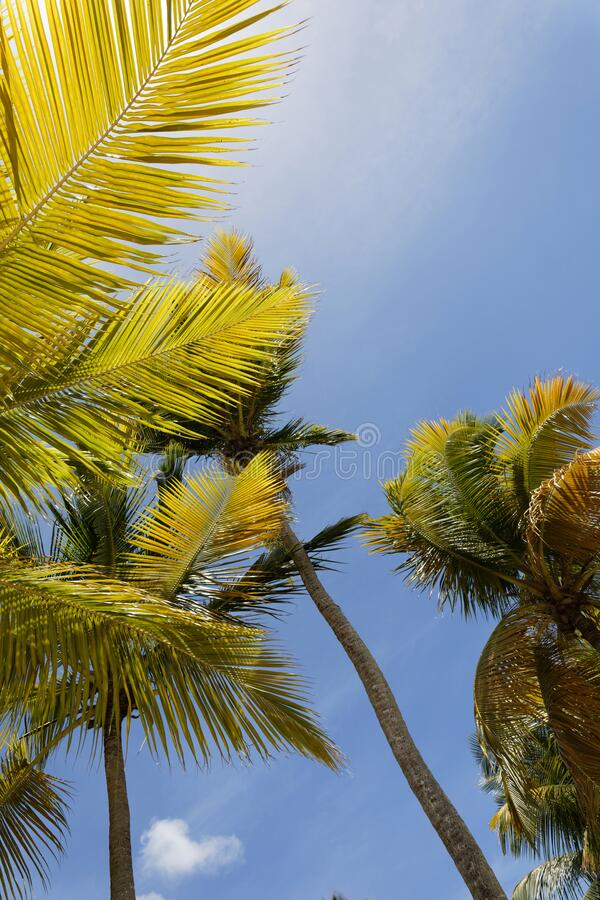 Coconut trees in the sky. Martinique, FWI royalty free stock image