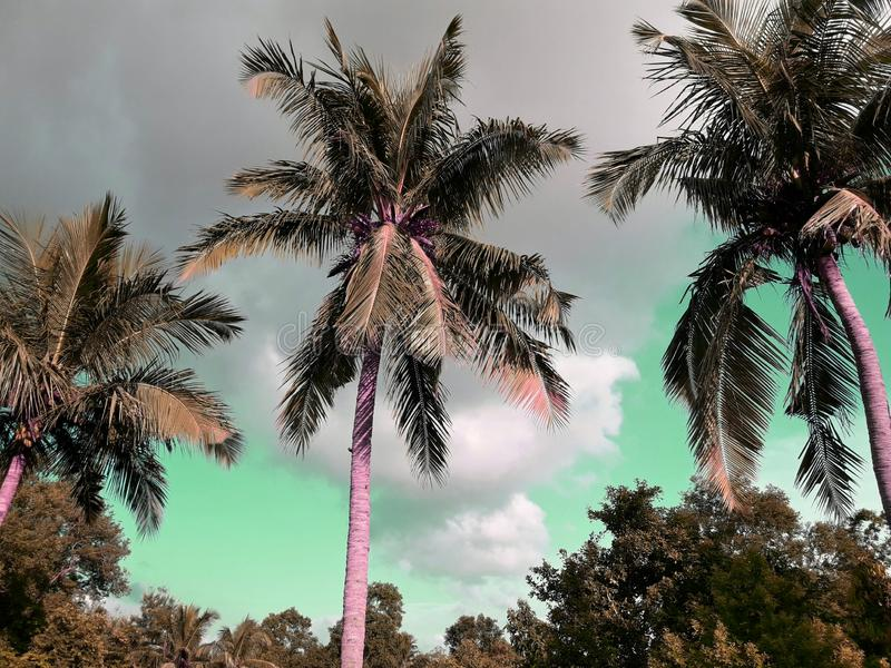 The coconut trees and sky. Nature, outdoor, leaf, leaves, beautiful, aerial, green, blue, white, scenic, scenery, space, bright, branches, daylight, sunny royalty free stock photo