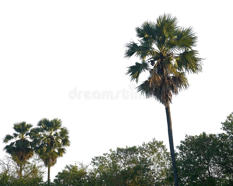 Coconut trees on white background royalty free stock images