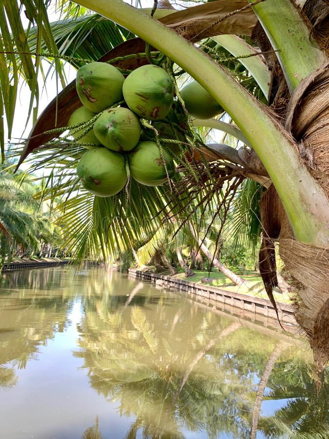 Coconut trees with a whole bunch of coconut on the pond background royalty free stock images