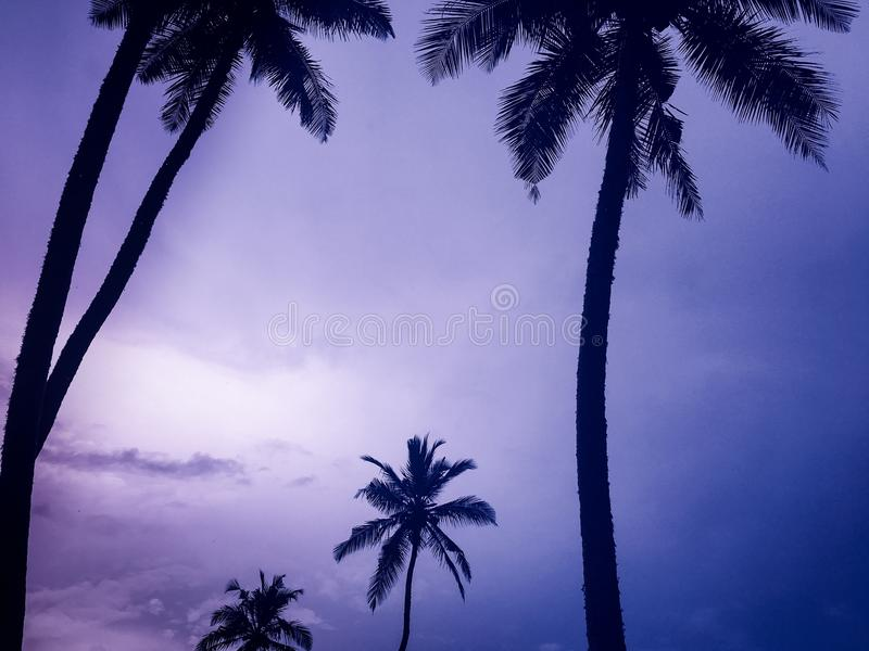 Coconut tress & pink sky. Beach side coconut trees and pink sky with clouds royalty free stock photo