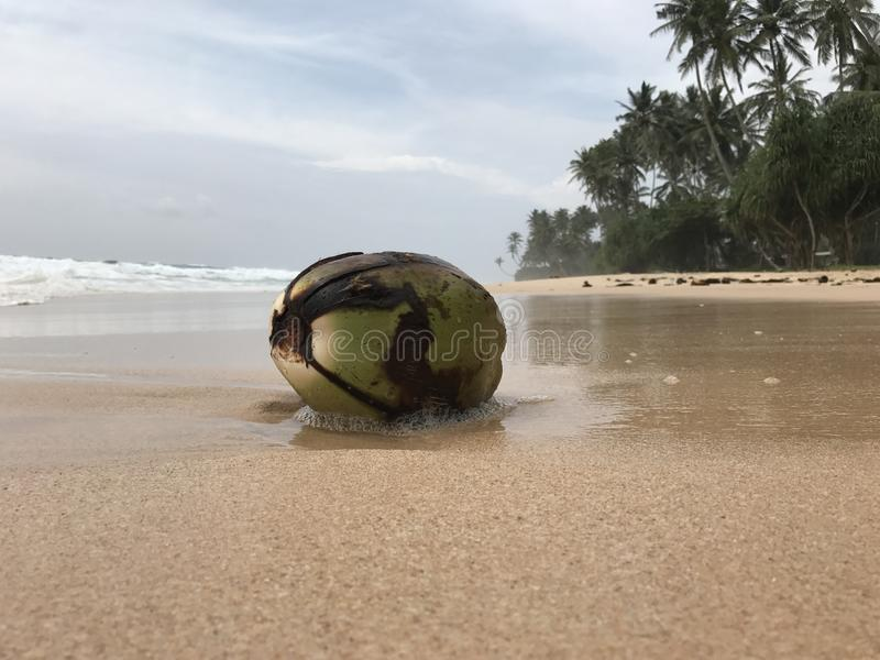 Coconut. Washed up by the surf on the beach royalty free stock images