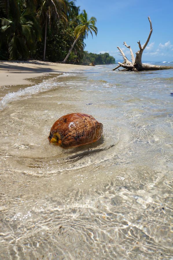 A coconut washes ashore on tropical beach stock photography