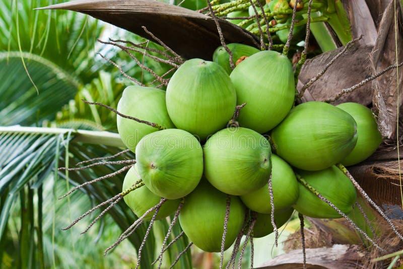 Coconuts Stock Image