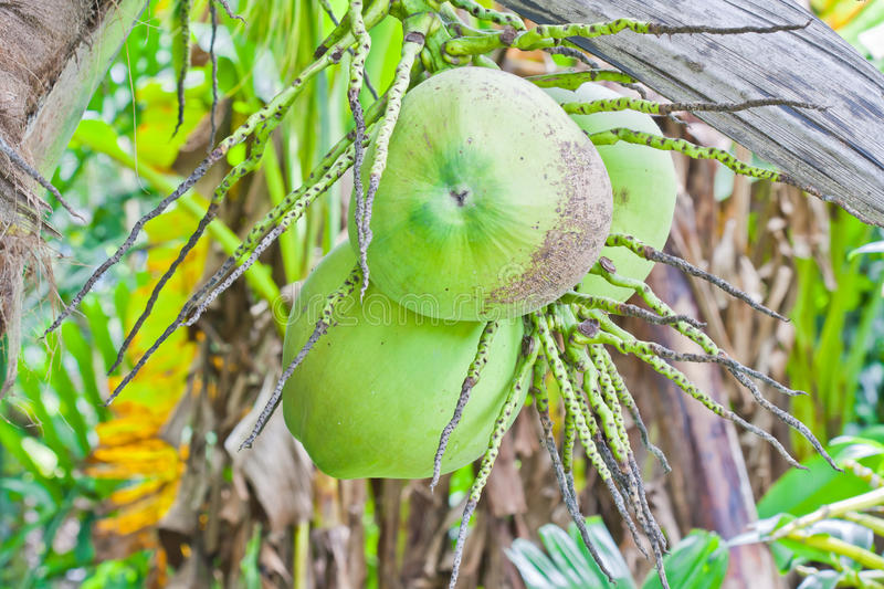 Download Coconuts stock photo. Image of palm, details, food, sunlight - 21546080