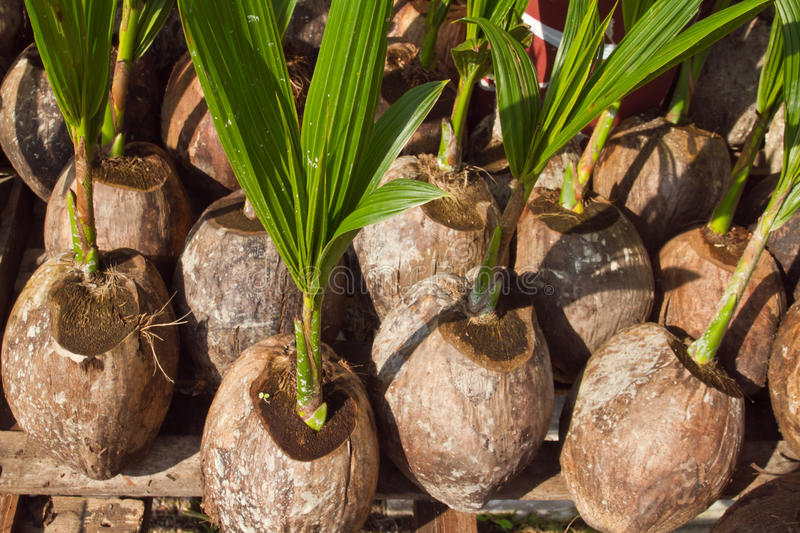 Download Coconuts stock image. Image of area, growth, tree, natural - 23441503