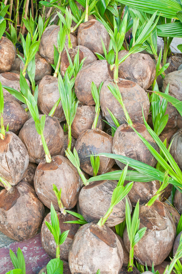 Download Coconuts Royalty Free Stock Photo - Image: 23567035