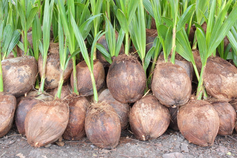 Download Coconuts stock image. Image of design, open, bright, food - 26265725