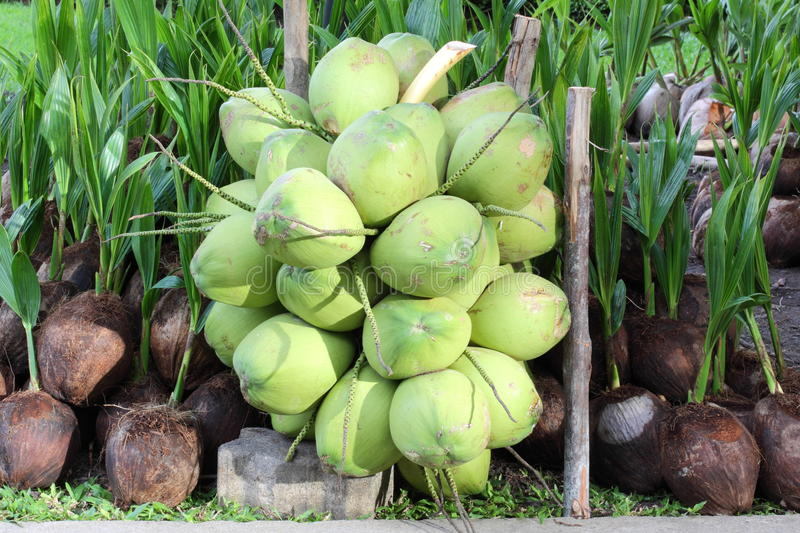 Download Coconuts stock image. Image of outdoors, grass, organic - 26265751
