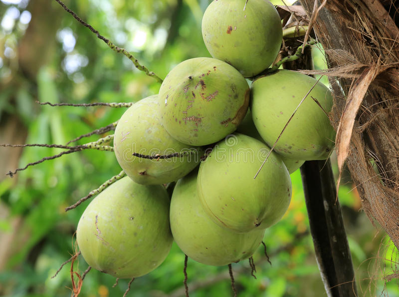Download Coconuts stock image. Image of ripe, green, vegetable - 26977711