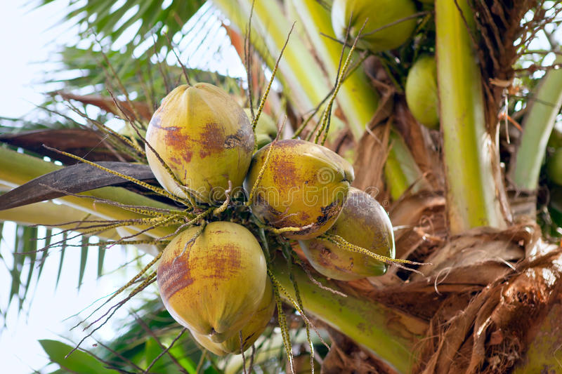 Download Coconuts stock image. Image of leaves, green, tropical - 28487055