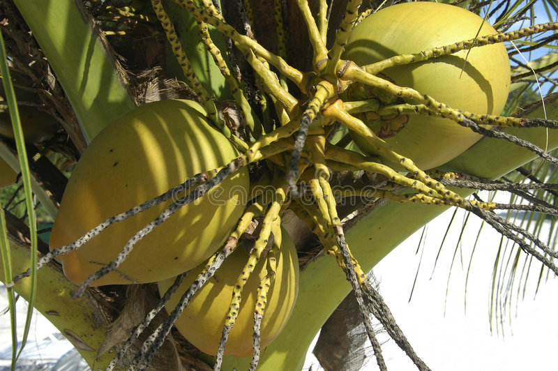 Download Coconuts stock image. Image of america, palm, fruits, ripe - 333361
