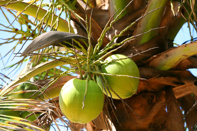 Download Coconuts stock photo. Image of green, food, palm, nature - 7107716
