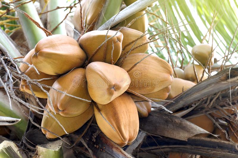 Coconuts brown on tree coconut palm, brown king coconut young in garden plantation, coconut yellow brown color fruit in nature. The coconuts brown on tree stock images