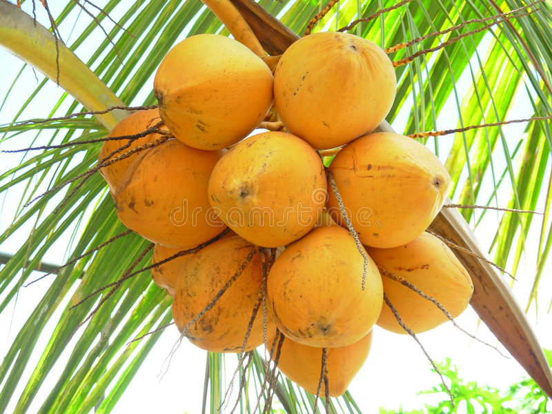 Download Coconuts close up stock photo. Image of palm, exotic, sunny - 9343472