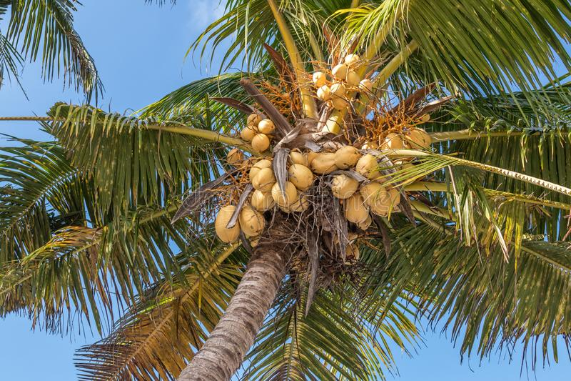 Coconuts On A Coconut Palm, Bali Island. Free Public Domain Cc0 Image