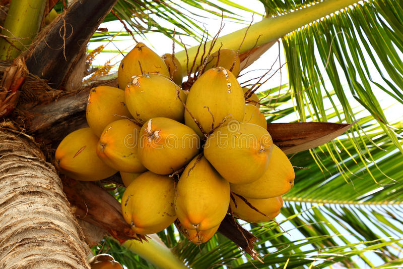 Download Coconuts on a coconut tree stock photo. Image of healthy - 22562034