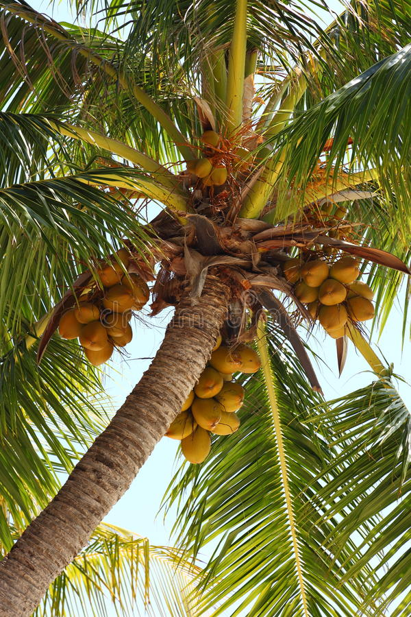 Coconuts On A Coconut Tree Royalty Free Stock Photos
